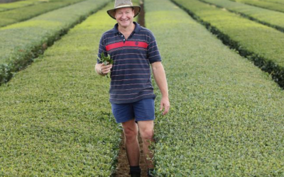 Company plans to establish tea growing co-op at Mangrove Mountain